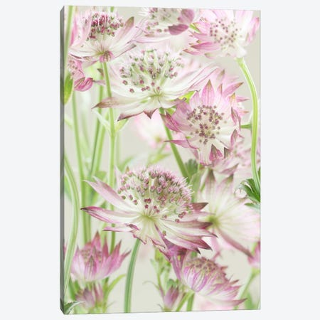 Pink Pastel Astrantia Flowers II Canvas Print #FEN81} by Alyson Fennell Art Print