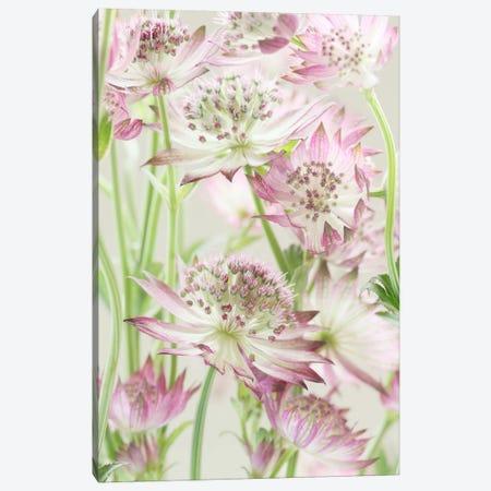 Pink Pastel Astrantia Flowers II Canvas Print #FEN81} by Alyson Fennell Art Print