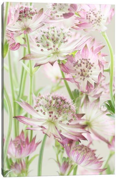 Pink Pastel Astrantia Flowers II Canvas Art Print