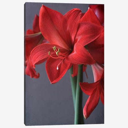 Red Amaryllis Canvas Print #FEN83} by Alyson Fennell Art Print