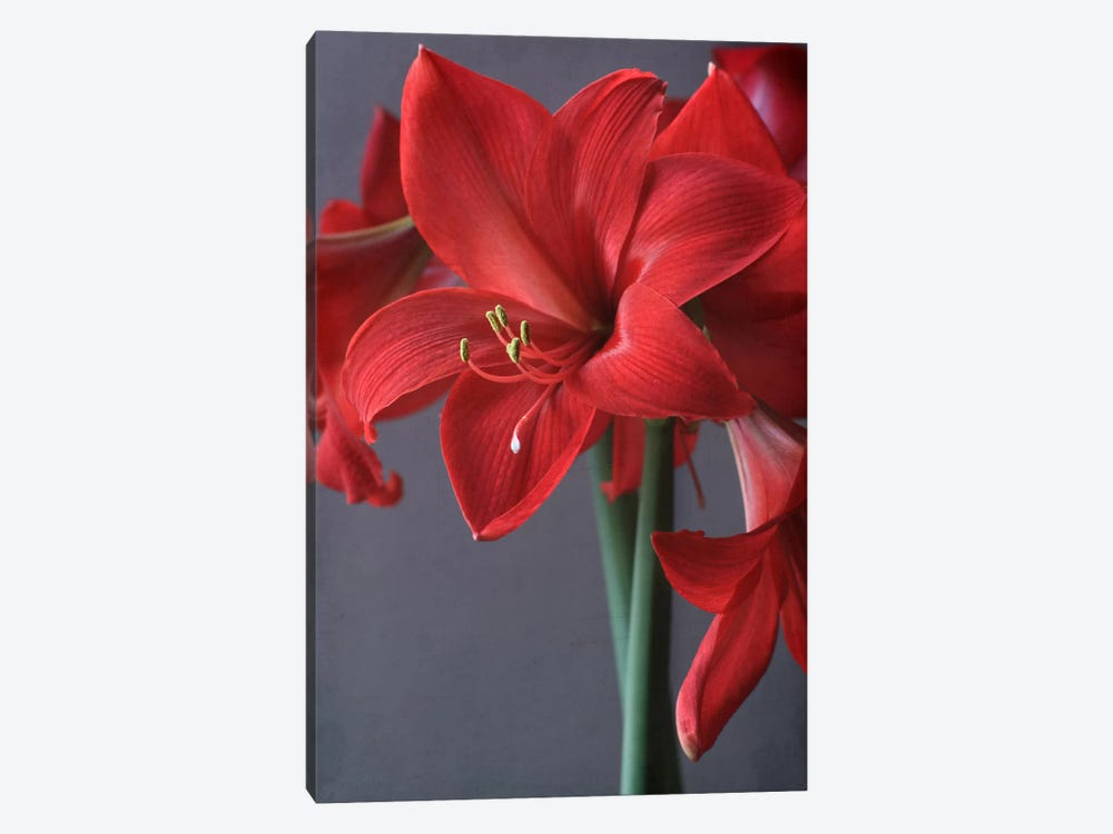 Red Amaryllis by Alyson Fennell 1-piece Canvas Wall Art