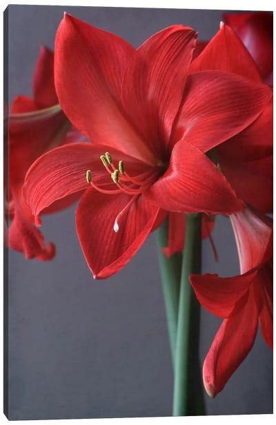 Red Amaryllis Canvas Art Print