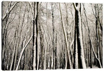 Snow Covered Trees Canvas Art Print