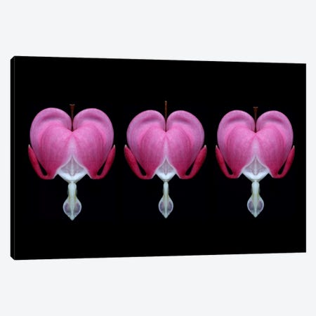 Bleeding Heart Trio Canvas Print #FEN8} by Alyson Fennell Canvas Art