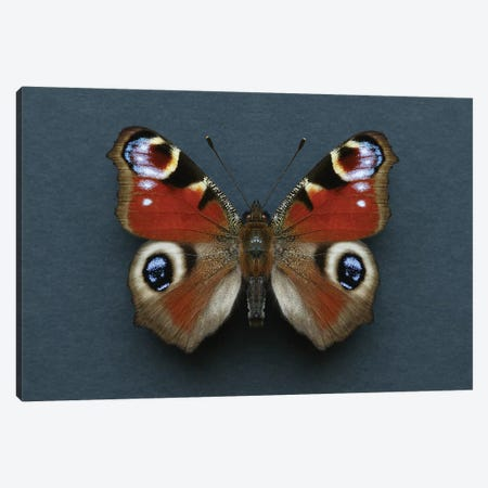 Peacock Butterfly Canvas Print #FEN94} by Alyson Fennell Art Print