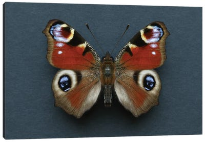 Peacock Butterfly Canvas Art Print