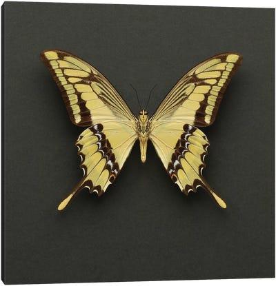 King Swallowtail Butterfly Canvas Art Print