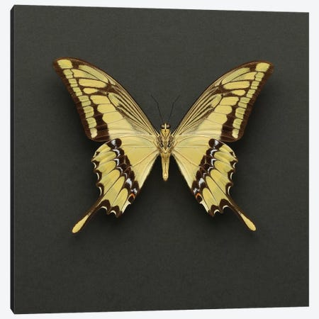 King Swallowtail Butterfly Canvas Print #FEN96} by Alyson Fennell Canvas Print