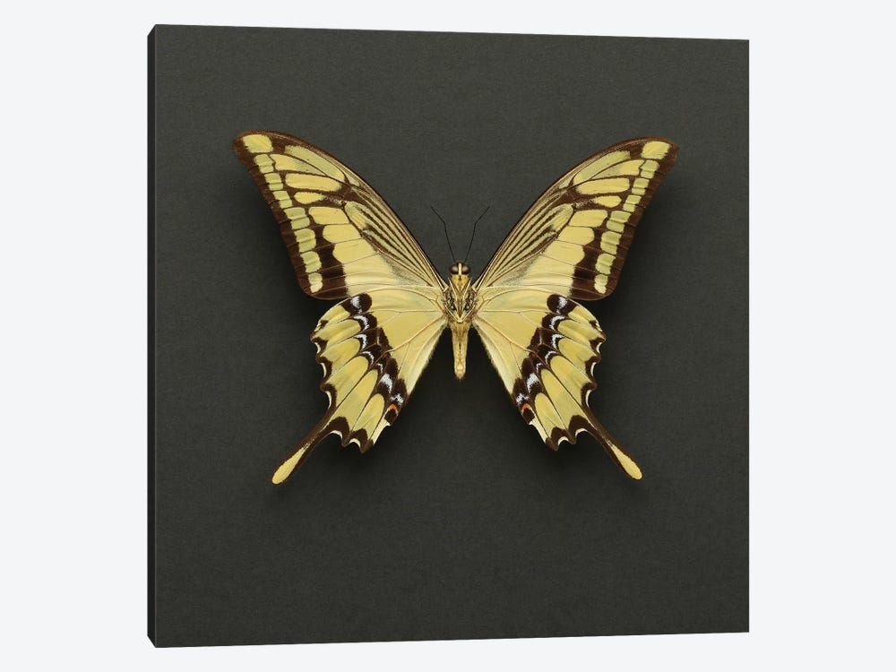 King Swallowtail Butterfly by Alyson Fennell 1-piece Canvas Art