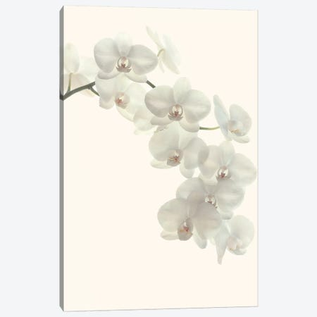 White Orchids Canvas Print #FEN98} by Alyson Fennell Canvas Art