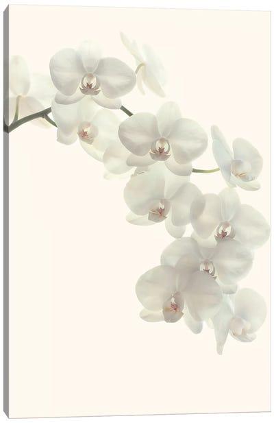 White Orchids Canvas Art Print