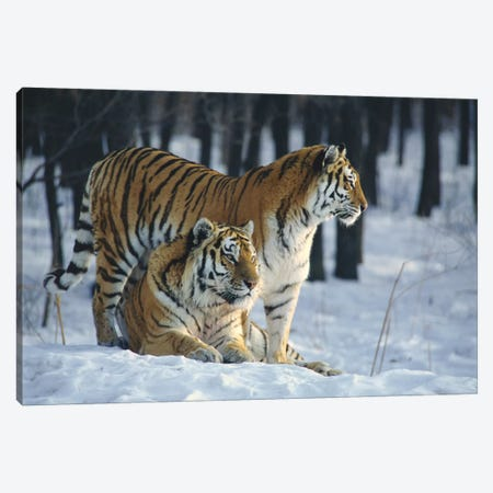 Siberian Tiger Pair In Snow Canvas Print #FKD1} by Toshiji Fukuda Canvas Art