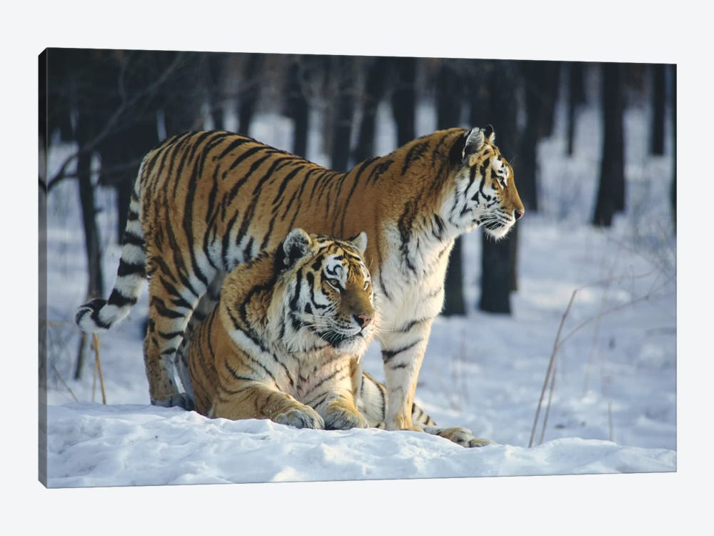 Siberian Tiger Pair In Snow by Toshiji Fukuda 1-piece Canvas Art Print