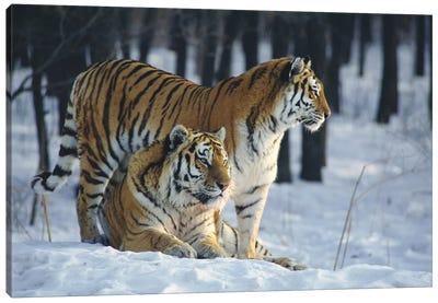 Siberian Tiger Pair In Snow Canvas Art Print
