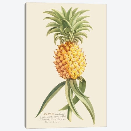 Ananas II Canvas Print #FLB117} by Florent Bodart Canvas Art Print