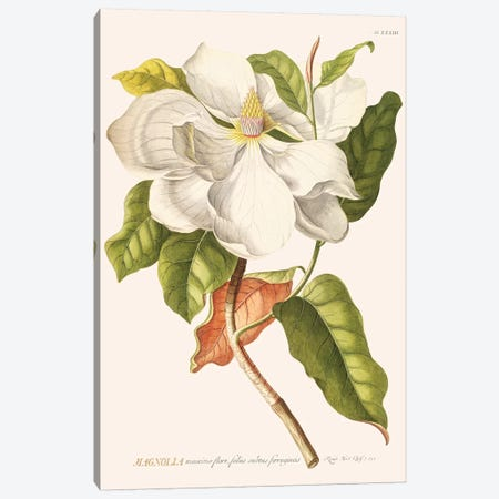 Magnolia Canvas Print #FLB137} by Florent Bodart Canvas Print