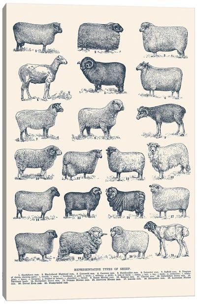 Representative Types of Sheep Canvas Art Print