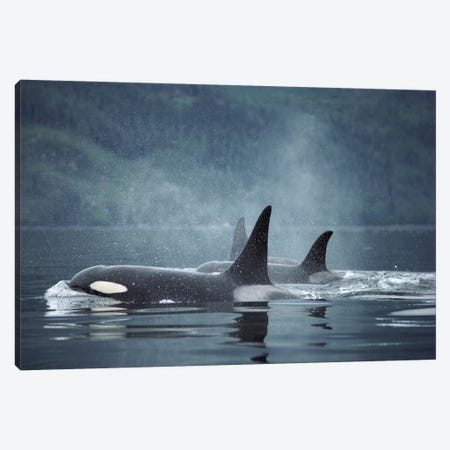 Orca Group Surfacing, Johnstone Strait, British Columbia, Canada Canvas Print #FLI11} by Flip Nicklin Canvas Art Print