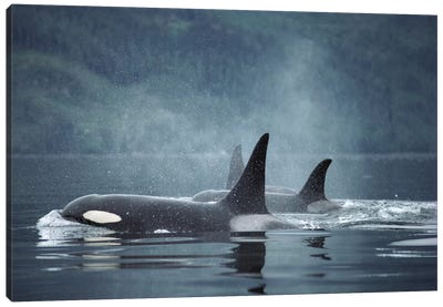 Orca Group Surfacing, Johnstone Strait, British Columbia, Canada Canvas Art Print