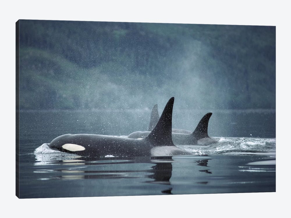 Orca Group Surfacing, Johnstone Strait, British Columbia, Canada by Flip Nicklin 1-piece Canvas Print