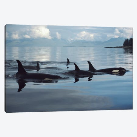 Orca Group, Johnstone Strait, British Columbia, Canada Canvas Print #FLI12} by Flip Nicklin Canvas Art Print