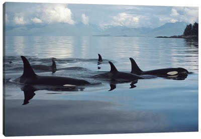 Orca Group, Johnstone Strait, British Columbia, Canada Canvas Art Print
