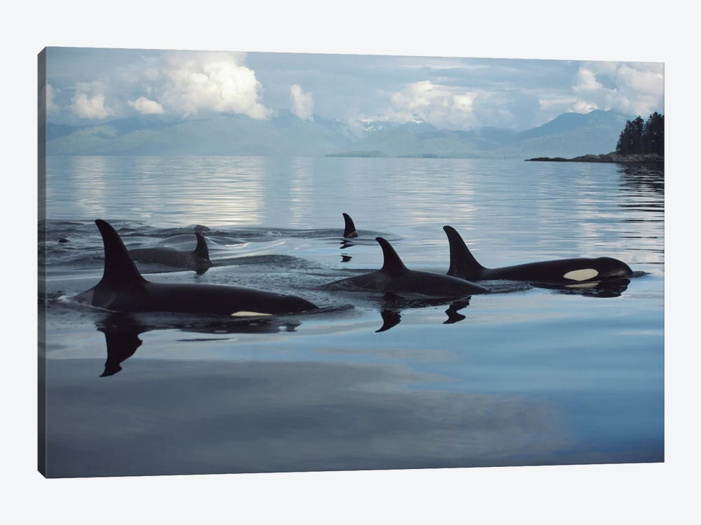 Orca Group, Johnstone Strait, British Columbia, Canada by Flip Nicklin 1-piece Canvas Art