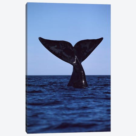 Southern Right Whale Tail, Peninsula Valdez, Argentina Canvas Print #FLI14} by Flip Nicklin Canvas Artwork
