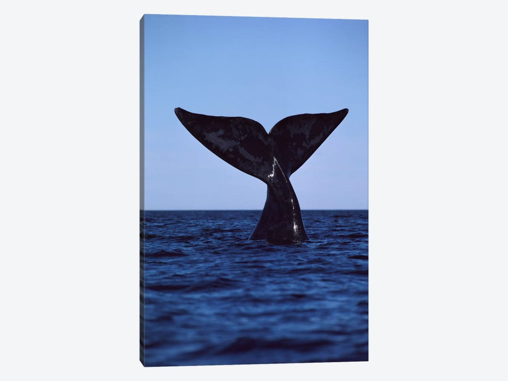 Southern Right Whale Tail, Peninsula Valdez, Argentina by Flip Nicklin 1-piece Canvas Wall Art