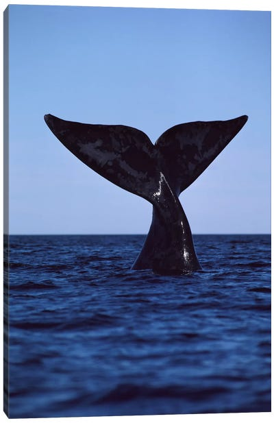 Southern Right Whale Tail, Peninsula Valdez, Argentina Canvas Art Print
