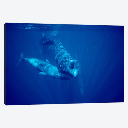 Sperm Whale Social Group Underwater, Dominica Canvas Print #FLI15} by Flip Nicklin Canvas Art