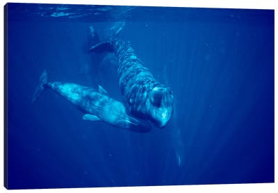 Sperm Whale Social Group Underwater, Dominica Canvas Art Print