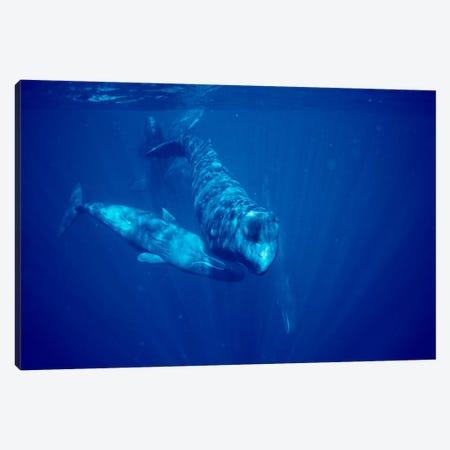 Sperm Whale Social Group Underwater, Dominica Canvas Print #FLI15} by Flip Nicklin Canvas Art
