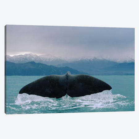 Sperm Whale Tail Canvas Print #FLI16} by Flip Nicklin Canvas Art
