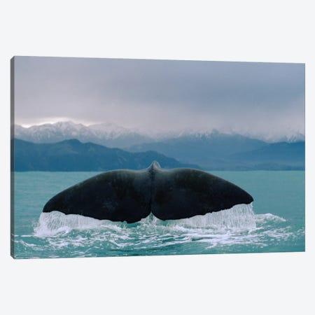 Sperm Whale Tail Canvas Print #FLI16} by Flip Nicklin Canvas Art