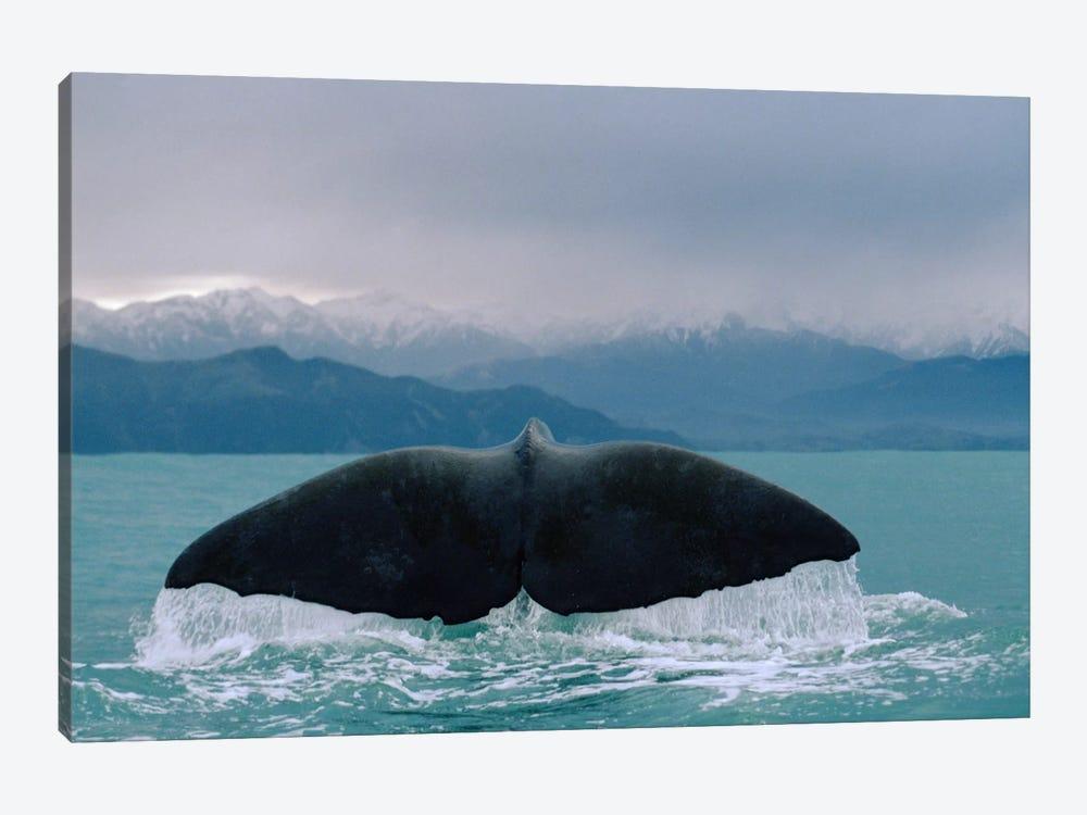Sperm Whale Tail by Flip Nicklin 1-piece Canvas Artwork