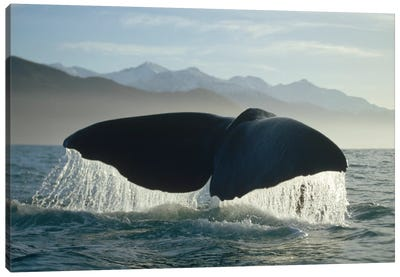 Sperm Whale Tail, New Zealand Canvas Art Print