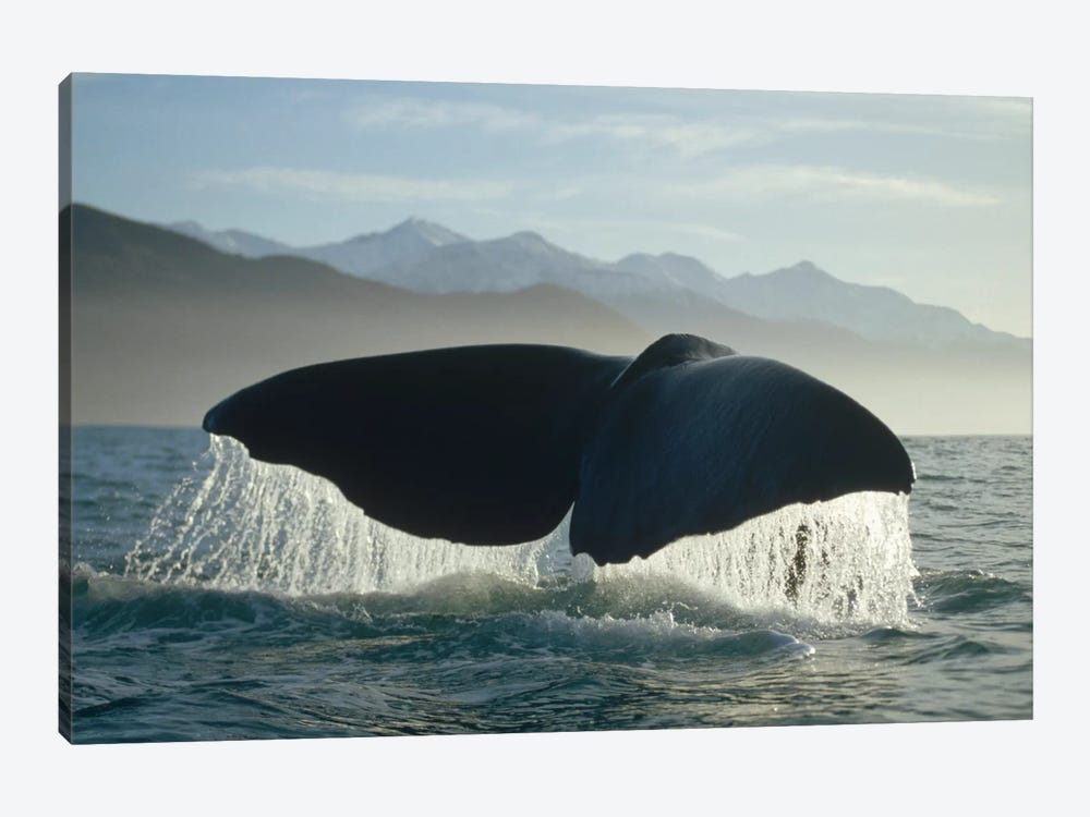Sperm Whale Tail, New Zealand by Flip Nicklin 1-piece Art Print