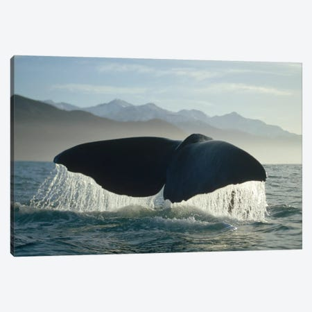 Sperm Whale Tail, New Zealand Canvas Print #FLI17} by Flip Nicklin Canvas Wall Art