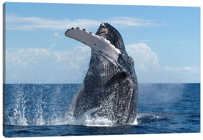 Humpback Whale Breaching, Humpback Whale National Marine Sanctuary, Maui, Hawaii Canvas Art Print