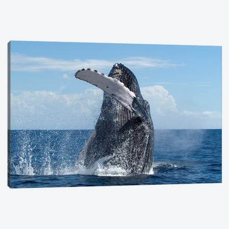 Humpback Whale Breaching, Humpback Whale National Marine Sanctuary, Maui, Hawaii Canvas Print #FLI18} by Flip Nicklin Canvas Art Print