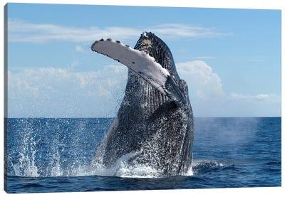 Humpback Whale Breaching, Humpback Whale National Marine Sanctuary, Maui, Hawaii Canvas Art Print