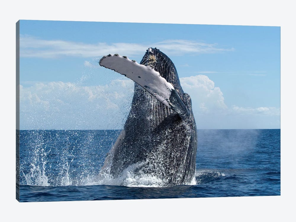 Humpback Whale Breaching, Humpback Whale National Marine Sanctuary, Maui, Hawaii by Flip Nicklin 1-piece Canvas Wall Art