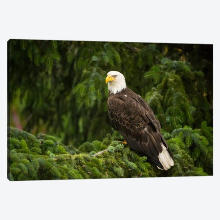 Bald Eagle, Alaska Canvas Print #FLI1} by Flip Nicklin Canvas Wall Art