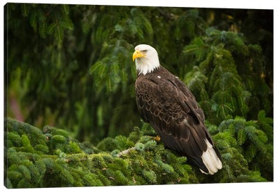 Bald Eagle, Alaska Canvas Art Print
