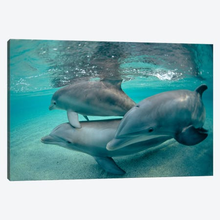 Bottlenose Dolphin Underwater Trio, Hawaii Canvas Print #FLI2} by Flip Nicklin Canvas Artwork