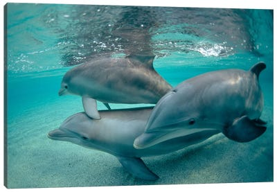 Bottlenose Dolphin Underwater Trio, Hawaii Canvas Art Print