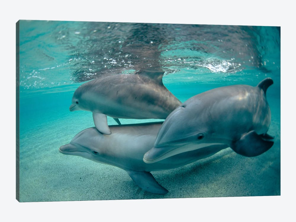 Bottlenose Dolphin Underwater Trio, Hawaii by Flip Nicklin 1-piece Canvas Artwork