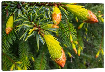 Conifer Needles Emerging, Alaska Canvas Art Print