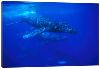 A Large Pod Of Travelling Humpback Whales, Maui, Hawaii (Photo Obtained Under NMFS Permit 987) Canvas Art Print